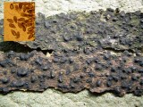 Stegonsporium pyriforme on sycamore bark CarltonWood 06-06 HW
