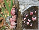 Stemonitis axifera SherwoodForest 23-6-07 RR