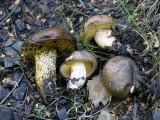 Suillus collinitus Bolete BestwoodCP Autumn 05 AW