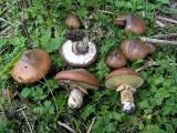 Suillus luteus Slippery Jack HaywoodOaks Autumn 05 AW