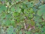 Rhytisma acerinum Sycamore Tarspot Lound  09-06 HW
