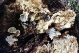 Rigidiporus ulmarius on dead elm Shireoaks 02-1993 HW