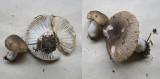 Russula praetervisa Sherwood Forest  Sep-11 HW