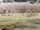 Comatricha nigra ClumberPark Oct-11 John Leach