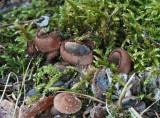 Humaria hemispherica SherwoodForest 22-7-07 RR