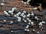 Lasiosphaeria ovina Clumber Park Aug-11 John Brown