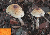 Lepiota magnispora Worksop Sep-10 RR