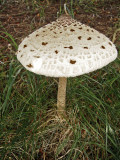 Macrolepiota procera Scofton Howard Williams