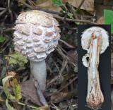 Macrolepiota rhacodes Shaggy Parasol AttenboroughNR 14-10-07