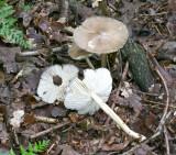 Megacollybia platyphylla White-laced Shank SherwoodForest 23-6-07 RR