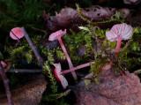 Mycena adonis var coccinea ClumberPark Sept-12 John Leach