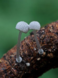 Mycena adscendens Frosty Bonnet ClumberPark Aug-11 John Brown