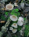 Mycena galericulata EatonWoodNR Nov-11