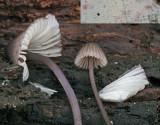 Mycena purpureofusca Rotten Pine NorthNotts 01-08 HW