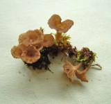 Omphalina rickenii Navel Carlton-in-Lindrick 10.06 HW