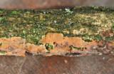 Peniophora incarnata Rosy Crust on gorse AW