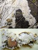 Phlebia cornea on pine DaneshillNWT Howard Williams
