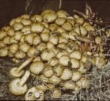 Pholiota squarrosa Shaggy Scalycap University 13-9-82 HF