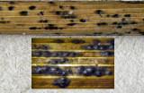 Phyllachora junci  Idle Valley Sep-11 HW