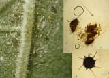 Phyllactinia guttata on hazel leaf Kirton Wood Nov-10 Howard Williams