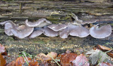 Pleurotus ostreatus Hodsock Jan-06 Howard Williams