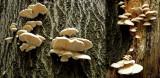 Pleurotus pulmonarius on beech HannahParkWorksop Howard Williams