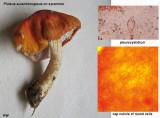 Pluteus aurantiorugosus on sycamore ClumberPark Sep-12