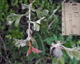 Podosphaera clandestina var. clandestina (Hawthorn Mildew) with conidiophore & conidia Apr-10