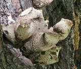 Polyporus tuberaster Tuberous Polypore Chestnut WollatonPark 10-9-07 RR