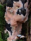 Postia placenta Oct 11 Clumber John Leach