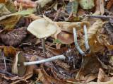 Psilocybe cyanescens Blueleg Brownie ClumberPark Oct-08 RR