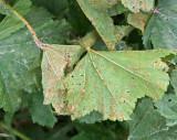 Puccinia malvacearum on Malva sylvestris Common Mallow AttenboroughNR Jun-07 RR