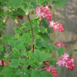Sweet flowering currant