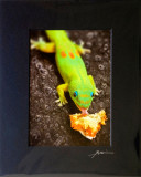 Gecko eating pastry - Fire and ice (Sinful lick) - mid size