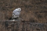 More Snowy Owls