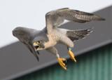 Peregrine adult, female in flight