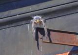 Peregrine adult taking flight