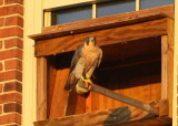 Peregrine adult female perched at nest box