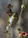 _MG_1457 American Goldfinch on Zinnia Stems