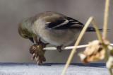 _MG_1463 American Goldfinch Perching on a Zinnia Stem