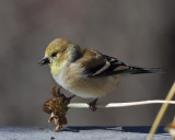 _MG_1468 American Goldfinch on Zinnia Stem