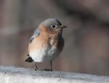 _MG_3030 Female Bluebird