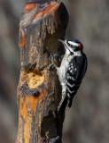_MG_1598 Male Downy Woodpecker