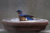 _MG_2623 Bathing Bluebird