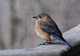 _MG_2880 Cold Bluebird