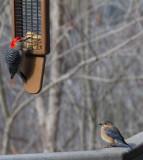 _MG_2884 Bluebird waiting turn at the feeder