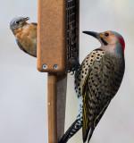 _MG_2983 Female Bluebird and Flicker