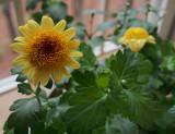 P3240067 Chrysanthemum