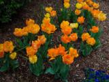 P4050026 Vibrant Tulips