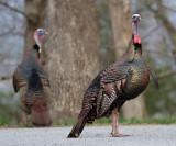_MG_8015 Male Turkey Spring Finery.jpg